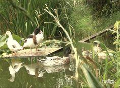 Vous avez une mare ? Pourquoi ne pas accueillir des canards. Cette volaille de la famille des Anatidés reste facile à vivre. Jean-Claude Périquet, président ...
