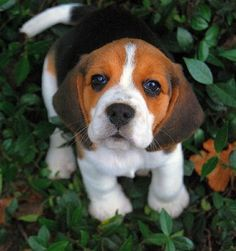 Beagle Puppy - I want to kiss you!!