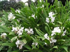 Hedychium coronarium (planta oficial de cuba)