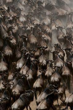 """Wildebeest crossing Mara river"" seventh wonder of the world"