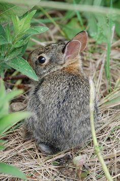Cottontail Rabbit by Friends of Neal Smith NWR and the Prairie Learning, via Flickr