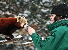 Red Pandas are so freaking adorable