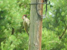 Green Woodpecker Green Woodpecker, Bird Feeders, Wordpress, Outdoor Decor, Fotografia, Woodpeckers, Teacup Bird Feeders