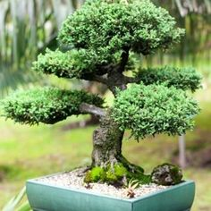 A juniper bonsai tree is the perfect introduction to bonsai gardening. Juniper trees are easy to grow and versatile. Covered in beautiful, evergreen leaves, juniper trees also flower in the spring, producing stunning, creamy white flower clusters.