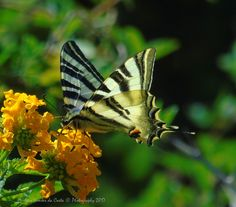 Photography: Fly Butterfly, Photo Credits: Helena Simões da Costa © Photography 2017, in blog do Arlindo. (my work: in http://helenasimoesdacosta.wixsite.com/helencostafotografia/ & https://www.facebook.com/HelenaSimoesDaCosta.Professora/ ; in Lisboa. #butterfly
