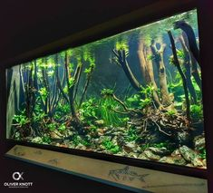 300cm x 130cm x 130cm Volume: 5.000 liter (1.320 gallons) Set up 4 weeks ago At the Zoo Karlsruhe (Germany) #oliverknott #ok_aqua #Aquarebell #zookarlsruhe #exotenhaus #anubiasaquaticplants