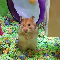 That face she's so freaken adorable I might go back to get her but still hung up on getting another rat baby #hamster #syrianhamster #furbaby #iwantone