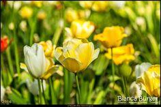 Britzer Garten (Mai 2016) - Tulipan 1 - Tulpen-Ausstellung #BritzerGarten #Britz #Neukölln #Berlin #Deutschland #Germany #biancabuergerphotography #igersgermany #igersberlin #IG_Deutschland #IG_Berlin #ig_germany #shootcamp #shootcamp_ig #pickmotion #berlinbreeze #diewocheaufinstagram #berlingram #visit_berlin #AOV5k #flowers #flower #Blumen #Blume #Tulpe #tulip #colourful #gelb #yellow #Tulipan