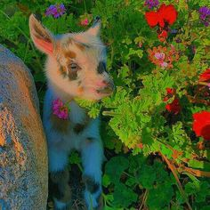 Cute Baby Cow, Baby Cows, Cute Cows, Cute Babies, Baby Farm Animals, Cute Little Animals, Cute Funny Animals, Cute Animal Photos, Cute Pictures