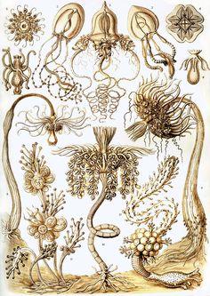 Haeckel Tubulariae - Kunstformen der Natur - Wikimedia Commons