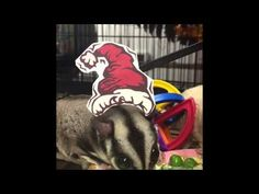 Happy Holidays from The Pet Glider Staff and Sugar Gliders! - YouTube