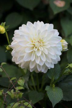 460 best white garden idea images on pinterest in 2018 white white dahlia wittem mightylinksfo