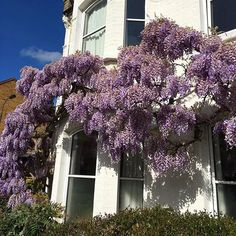 We spotted this gorgeous Wisteria at the weekend if only we still had the same blue skies! #wisteriahysteria #welovewisteria #gorgeous #blooms #spring #sunshine #weekendvibes #blueskies  via RED MAGAZINE OFFICIAL INSTAGRAM - Celebrity  Fashion  Haute Couture  Advertising  Culture  Beauty  Editorial Photography  Magazine Covers  Supermodels  Runway Models
