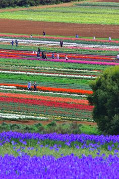 A tulip farm atop a 12 million year old volcano, acres of patchwork fields explode with color each spring. These are the colors of Tasmania's tulip season - Australia