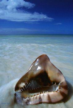 King Helmet Cassis tuberosa (Linne), Caribbean (offshore NC to Brazil) Shells And Sand, Sea Shells, Paradise Cove, Shell Beach, Beautiful Ocean, Ocean Life, Marine Life, Sea Creatures, Under The Sea