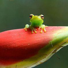 Palmar Treefrog (Hypsiboas pellucens). 2011 © Alejandro Arteaga