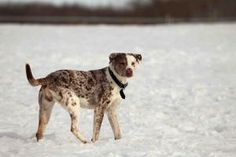 DAFFODIL: Adoptable Catahoula Leopard Dog in Saskatoon, SK   I am a four year old, blue merle Catahoula blend that arrived at the shelter on March 28, 2013 and I'm currently available for adoption at the Saskatoon SPCA.   I have a condition called Micropthalmia, also known as nanophthalmia, which is a birth defect that results in abnormally small eye(s).