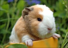 Everyone knows that guinea pigs are cute. But baby guinea pigs take it from cute to awwwwww.