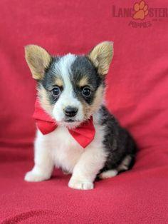 #WelshCorgi #Charming #PinterestPuppies #PuppiesOfPinterest #Puppy #Puppies #Pups #Pup #Funloving #Sweet #PuppyLove #Cute #Cuddly #Adorable #ForTheLoveOfADog #MansBestFriend #Animals #Dog #Pet #Pets #ChildrenFriendly #PuppyandChildren #ChildandPuppy #LancasterPuppies www.LancasterPuppies.com Welsh Corgi Puppies, Pembroke Welsh Corgi, Little Puppies, Puppies For Sale, Your Smile, Make You Smile, Lancaster Puppies, Animals Dog, Mans Best Friend