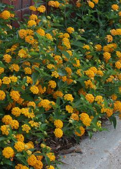 New Gold lantana is a vigorous and low growing and trailing plant with outstanding golden-yellow flowers. (Photo by MSU Extension/Gary Bachman) Lantana Flower, Lantana Plant, Full Sun Flowers, Yellow Flowers, Fall Flowers, Rusty Garden, Herb Garden, Garden Art, Garden Ideas