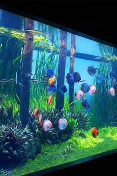 Planted Freshwater Aquarium - Aquarium Architecture Diskus Aquarium, Cichlid Aquarium, Aquarium Terrarium, Tropical Fish Aquarium, Tropical Fish Tanks, Nature Aquarium, Aquarium Design, Marine Aquarium, Freshwater Aquarium Plants