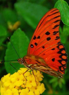 Butterfly of Brazil