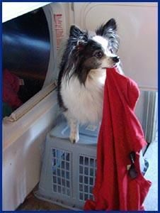 What is a service dog? Peek, the Papillion service dog, holds a red shirt as he helps with the laundry.
