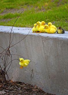 "raccaryusui: raindropsonroses-65: ""WEEEEE"" by walter collis 小さな冒険者\(^O^)/ #アヒル #チャレンジャー #gooseチャレンジャーやなぁ^^;"