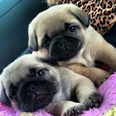 Imagen de pug, cute, and love
