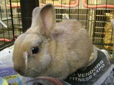 #MICHIGAN ~ Poppin is a Spayed Dutch bunny rabbit who was given up by owners who tried to let her go in their back yard. She's very small, friendly & could be trained to use a litter box. She's hoping you hop-in as she'd like a loving #adopter / #rescue at BLOOMFIELD TOWNSHIP ANIMAL WELFARE 4200 Telegraph Rd  #BloomfieldHills MI 48302 Ph 248-433-7700