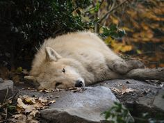 Time for a nap says this pretty white wolf