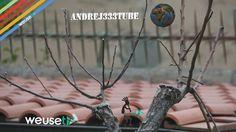 Il #pero delle #meraviglie - Come prendersi #cura di un #innesto (#innesti #melo su #pero) #botanica #giardinaggio #innesti #potature #pruning #ggrafting #gardening