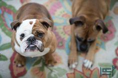 @HandmadePet mascots | our biggest & furriest fans! | #boxerdog #bulldog #dogs #aww  @companyc #furryfriends