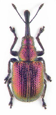 Rhynchitidae: Rhynchites bacchus