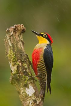 The Yellow-fronted Woodpecker (Melanerpes flavifrons) is a species of bird in the Picidae family. It is found in Argentina, Brazil, and Paraguay. Its natural habitats are subtropical or tropical moist lowland forests and heavily degraded former forest