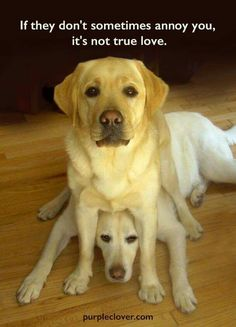 Labrador Puppies For Sale Love My Dog, Cute Puppies, Dogs And Puppies, Cute Dogs, Doggies, 15 Dogs, Funny Dogs, Funny Animals, Cute Animals