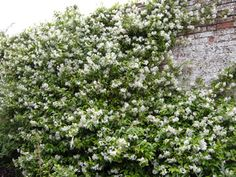 Google Image Result for http://www.shrublandparknurseries.co.uk/shop/images/medium/trachelospermum_jasminoides_MED.jpg