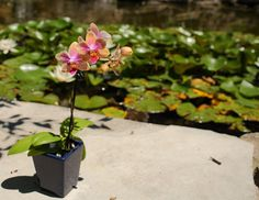 Miniature Phalaenopsis Orchid