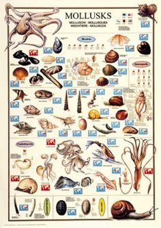 Mollusks Marine Biology Poster: The molluscs or mollusks, compose the large phylum of invertebrate animals known as the phylum Mollusca. Around 85,000 extant species of molluscs are recognized