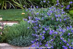 Blue flowering hardy Geranium 'Orion' in perennial border; Gary Ratway garden