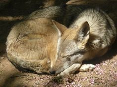 Red wolf at Mill Mountain Zoo, a Red Wolf Species Survival Plan participant.  Photo credit theirs.