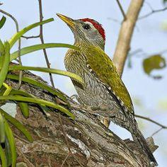 Streak-throated Woodpecker(Picus xanthopygaeus)
