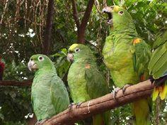 Papagaios Da Amazonia