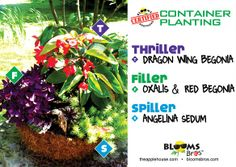#containergardening using begonias, angelina sedum #terrehaute #applehouse #flowerpots