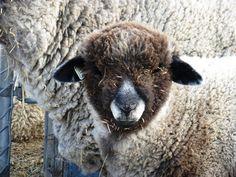 Farm Animals, Funny Animals, Romney Sheep, Baa Baa Black Sheep, Ostriches, Alpacas, Camels, Animal Kingdom, Goats