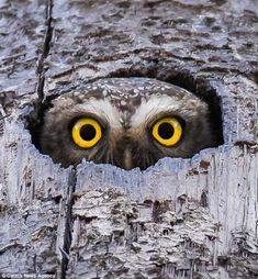 Photographer Akshaya Narayana spotted the owl hiding in a palm tree in Mangalore, southern India