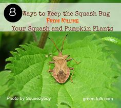 Squash Bug Control: 8 Ways to Kick their Butts in the Garden via #greentalk This would be helpful for #towergarden owners too! (Want one?) #conveyawareness