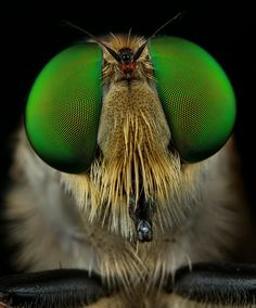 Robber fly, macro photography