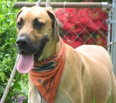 Dozer (PA) is an adoptable Great Dane Dog in Blooming Glen, PA. Dozer is a 1 1/2 year old (born October 2010) fawn male with natural ears. Dozer is a silly, playful boy who was a little overweight whe...