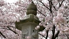 Cherry Blossom Festival In Japan Hanami Hanami Cherry Blossom Festival Cherry Blossom